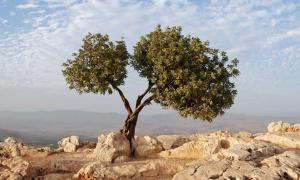 A Symbol of Peace, Victory, and Abundance: The Millennia-Old History of the Olive Tree