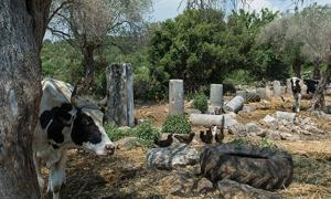 Cows amongst ruins at the ancient city of Bargylia, Turkey.