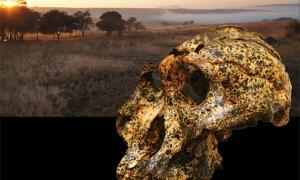 The newly discovered Paranthropus skull. Source: Jesse Martin and David Strait