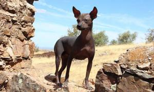 Peruvian hairless dog. Source: CC BY SA 3.0