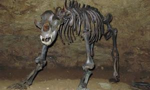 This reconstructed cave bear skeleton, found in a Bavarian cave, is the same species as the one belonging to bear skull discovered in Russia. The Russian cave bear skull had a strange hole in it that appears to have been made with a spear while it was hibernating or ritually after it was dead, which is the challenging question for scientists