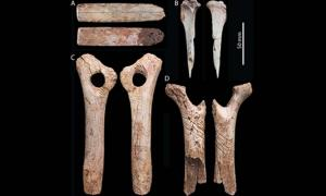 Engraved bones found at the Gough's Cave: A. Horse rib. B.Hare tibia. C. 'bâton percé' made from reindeer antler. D. bâton percé made from reindeer antler