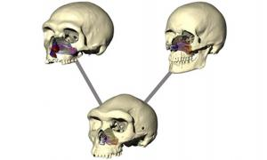 Image illustrates the difference in skull and nose shape in the three human species tested: Neanderthal, Modern Human, and Homo heidelbergensis.
