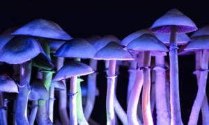 Magic mushrooms contain the chemical psilocybin which cause hallucinogens. Source: Martina / Adobe Stock.