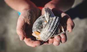 Ancient Saladoid child foraging for shellfish.