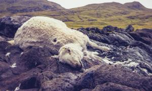 The killing of sheep found in the UK have been blamed on Satanists.  Source: LoloStock / Adobe Stock