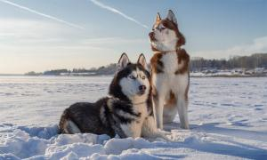 Siberian huskie sled dogs.     Source: Konstantin / Adobe Stock