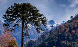 Araucaria over a Nothofagus forest, Araucania Region, Chile.