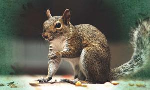 Squirrels – ancient messengers from the underworld (Public Domain) and squirrel tracks