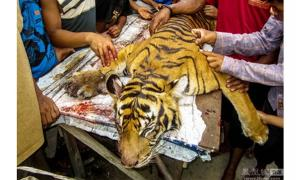 A Sumatran tiger killed in Indonesia in 2016