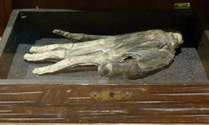 The Hand of Glory at the Whitby Museum, England.