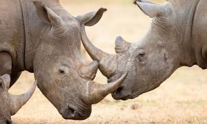 White rhinoceros locking their horns.