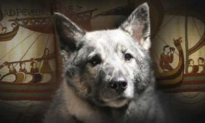 Elkhound, a Viking Dog.
