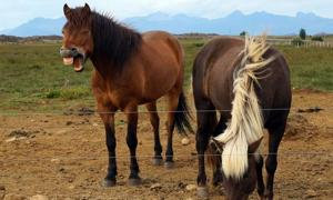 Modern Icelandic horses are probably descendants from the horses that were buried by Viking.