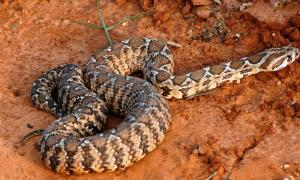Vipera palaestinae, Israel, the same species seen at the Western Wall