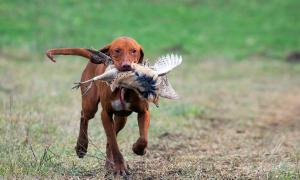 Hungarian Vizsla out hunting with a pheasant in its mouth.   Source: oroszgy / Adobe stock