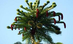 Male and female cones on the Wollemi pine
