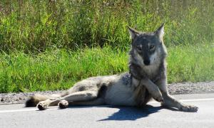 The ancient domesticated dog of Europe was born from an early female gray wolf. At first look, she appears to be a beautiful dog on the road, note the lifted paw!              Source: Seney Natural History Association / CC BY-SA 2.0