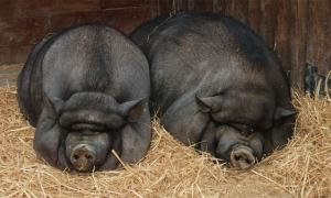 stone age domesticated pigs