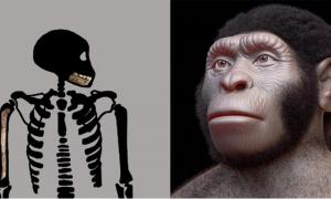 Homo naledi juvenile skeleton (Bolter et al. 2020) and reconstruction of a Homo naledi adult. (Cicero Moraes (Arc-Team) et al/CC BY 4.0)