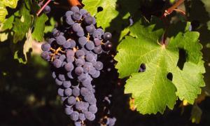 Ancient Roman wine