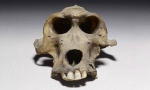 Baboon Skull Could Lead to the Long Lost Land of Punt
