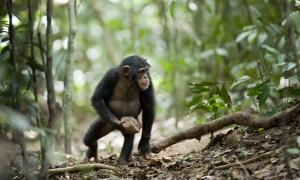 Mysterious Chimpanzee Behavior May Be Evidence of 'Sacred' Rituals