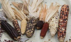 Species of corn found in the American Southwest.