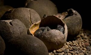 Representational image of dinosaur eggs. Credit: KtD / Adobe Stock