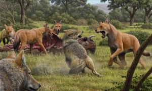 Somewhere in Southwestern North America during the late Pleistocene, a pack of dire wolves (Canis dirus) are feeding on their bison kill, while a pair of gray wolves (Canis lupus) approach in the hopes of scavenging. One of the dire wolves rushes in to confront the gray wolves, and their confrontation allows a comparison of the bigger, larger-headed and reddish-brown dire wolf with its smaller, gray relative. Source: Mauricio Antón/ Nature