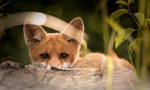 Foxes and dogs were domesticated in antiquity.