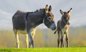 Mother and baby donkey. Credit: Geza Farkas / Adobe Stock