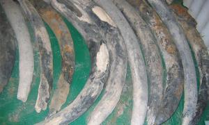 Landmark Study Reveals Elephant Tusk Origins Of 16th Century Shipwreck