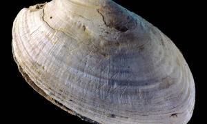 This etched shell from Java was found at the site where Homo erectus was discovered
