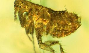 The flea caught in amber
