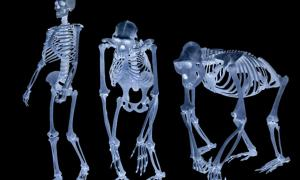 Study of Fossil Apes Sheds New Light on the Human Origins Mystery