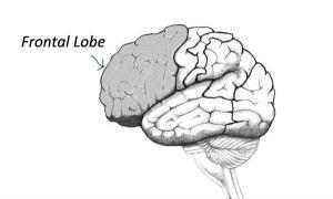 Frontal Lobe and Human Evolution