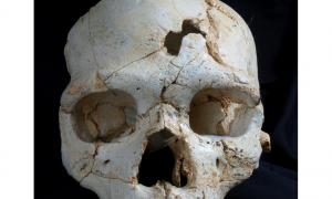 A frontal view of Cranium 17 showing the position of the traumatic events T1 (inferior) and T2 (superior).