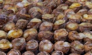 Pyrenean glass snails - human migration