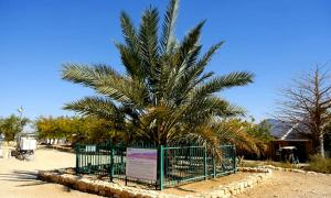 The ancient Judean date palm tree has been resurrected