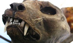 The head of a mummified cat