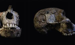The teeth in these Australopithecus africanus skulls contain important evidence about the nutrition of these individuals as they grew up. Source: Luca Fiorenza, Fair Use