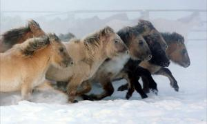Researchers say these horses, which seem so well attuned to the harsh cold with thick, dense winter coats, their armour against temperatures of minus 70C (minus 94F), are incomers that only arrived in these parts within the last 800 years.