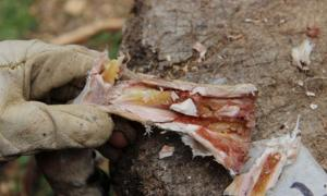 Early Human diet: Marrow inside a metapodial bone after six weeks of storage. Source Dr. Ruth Blasco/AFTAU