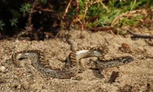 A photo of the javelin sand boa from the Peloponnese