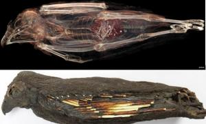 Top: The tail of an animal can be seen in the innards of this kestrel mummy in a CT scan. (Stellenbosch University photo). Bottom: The mummified kestrel
