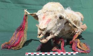 Head of one of the sacrificed llamas. Note the colorful tassels on its ears. Image: L.M. Valdez /Antiquity Publications Ltd
