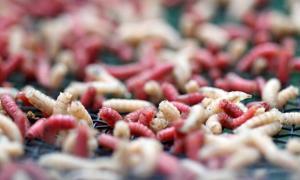 Caterpillar maggot could be used in re-emerging maggot medicine.
