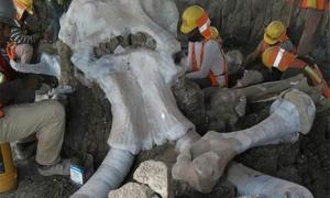 Archaeologists working at the massive mammoth skeleton site or mammoth trap area in Mexico.       Source: INAH