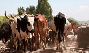 Digesting Milk in Ethiopia